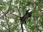 Howler Monkey at Mango Rosa